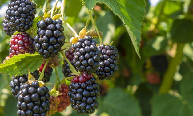 Bienfaits méconnus d'un petit fruit « ordinaire »